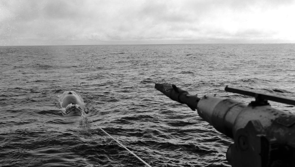 """""""Fast fisk """" Hvalen er skutt"""